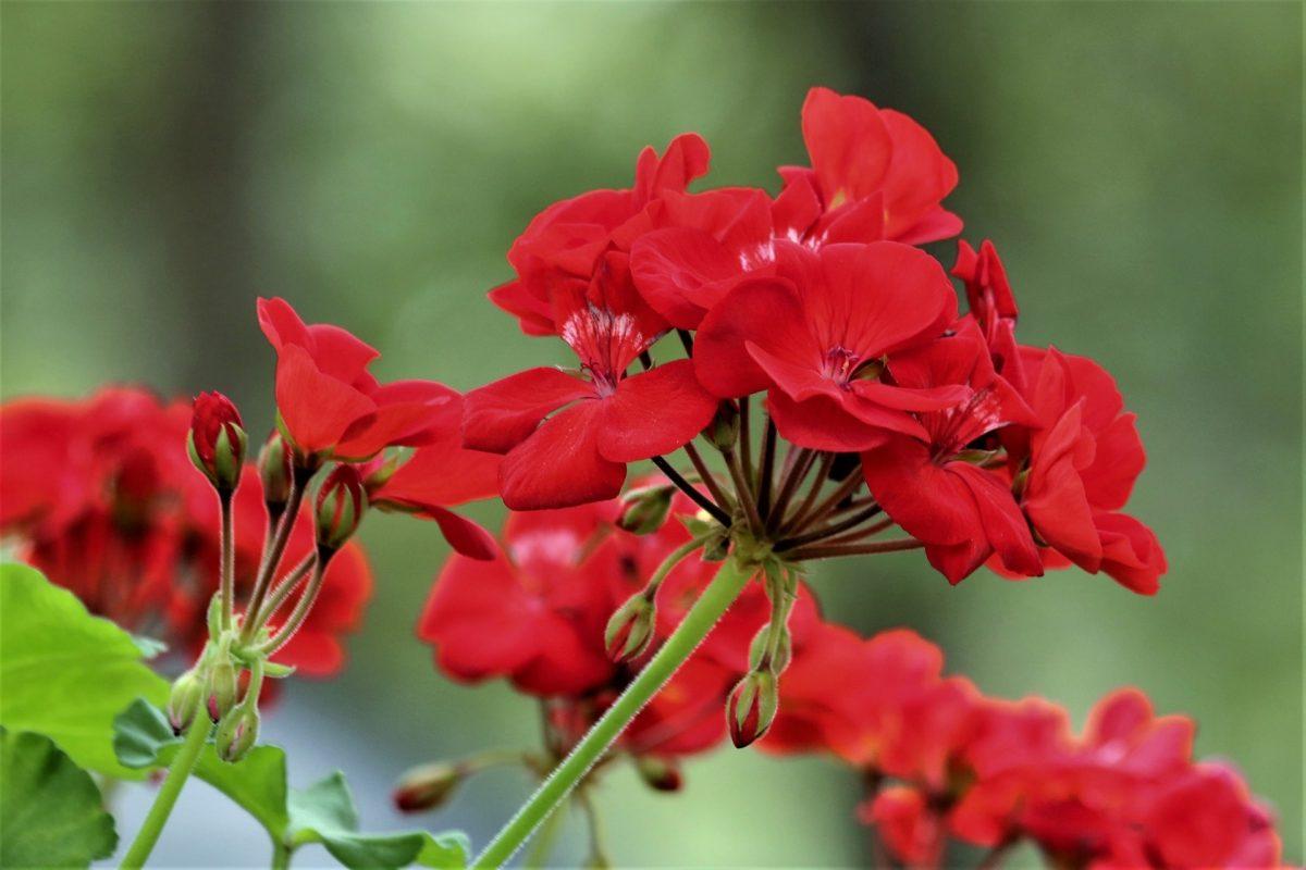 Los geranios necesitan luz para florecer