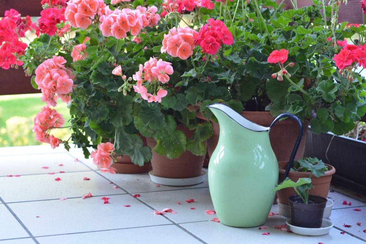 Los geranios son plantas que pueden cultivarse en macetas