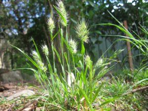 hierba cuyo nombre es Cynosurus echinatus