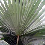 La Livistona tiene las hojas costapalmadas