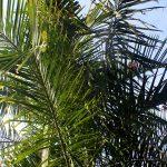 Dypsis cabadae es una palmera tropical