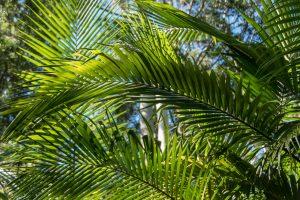 Las palmeras tropicales son preciosas