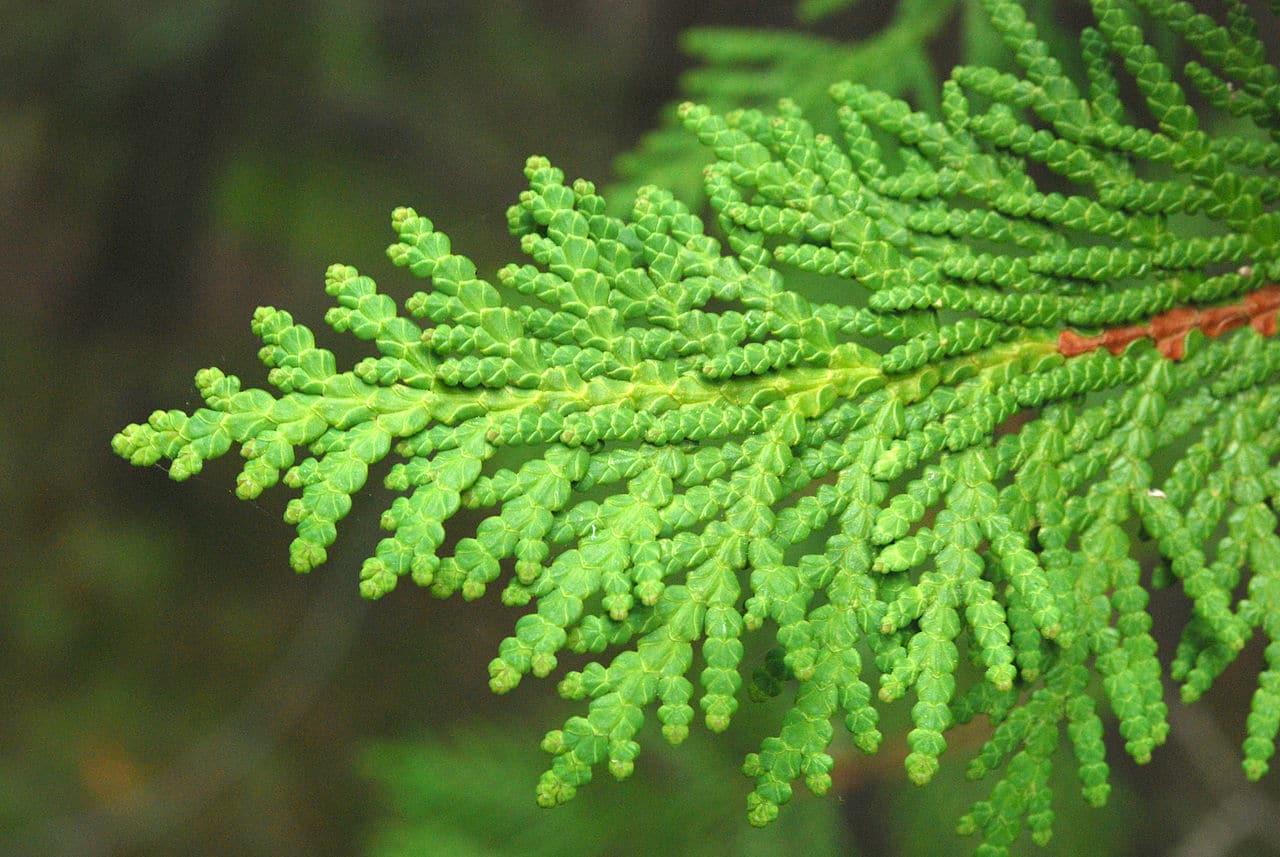 Las hojas de Thuja son verdes