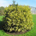 Vista del acebo, un árbol que se reproduce por esquejes