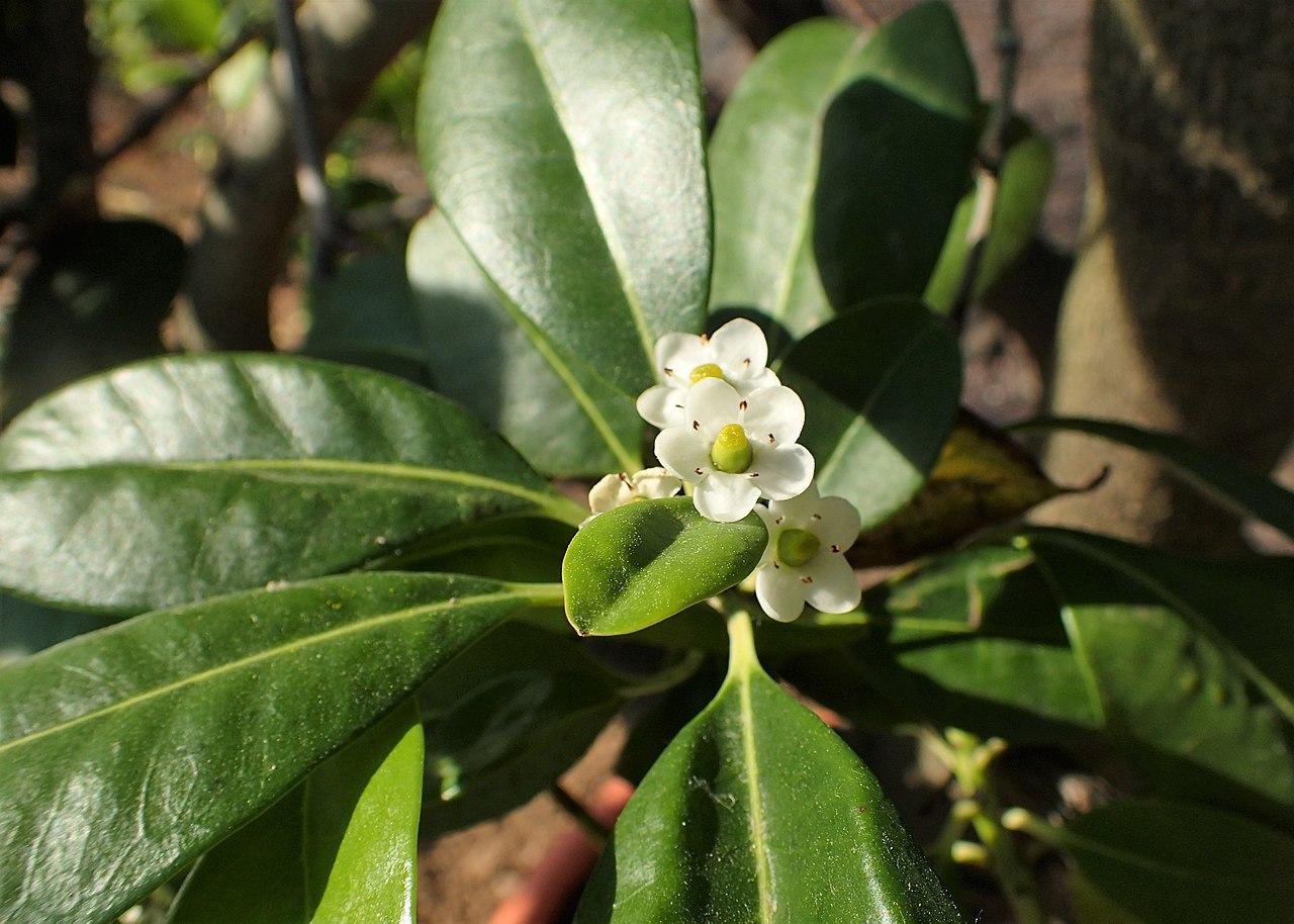 El Ilex canariensis es un arbusto perenne