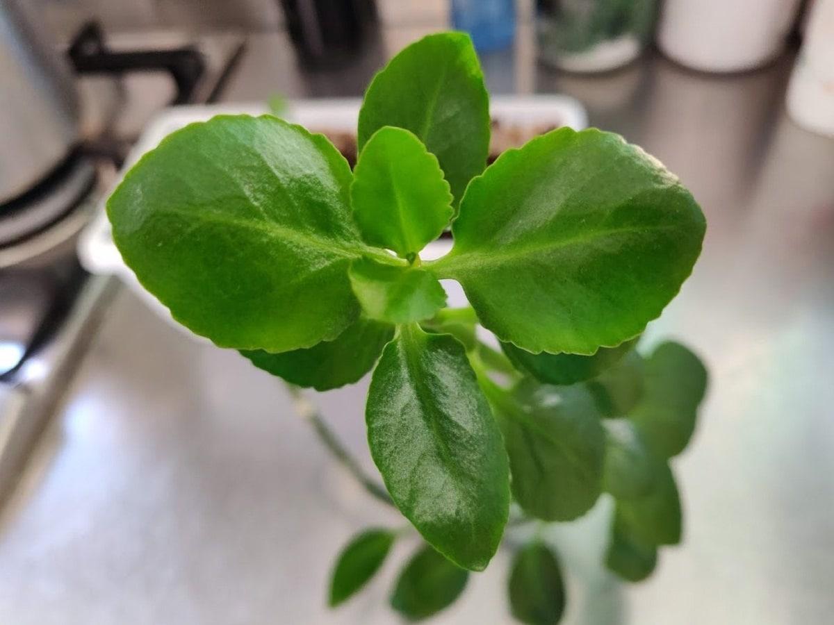 imagen de unas hojas verdes de una planta llamada pilea