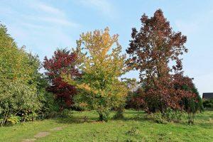 El Liquidambar es un género de árboles caducos