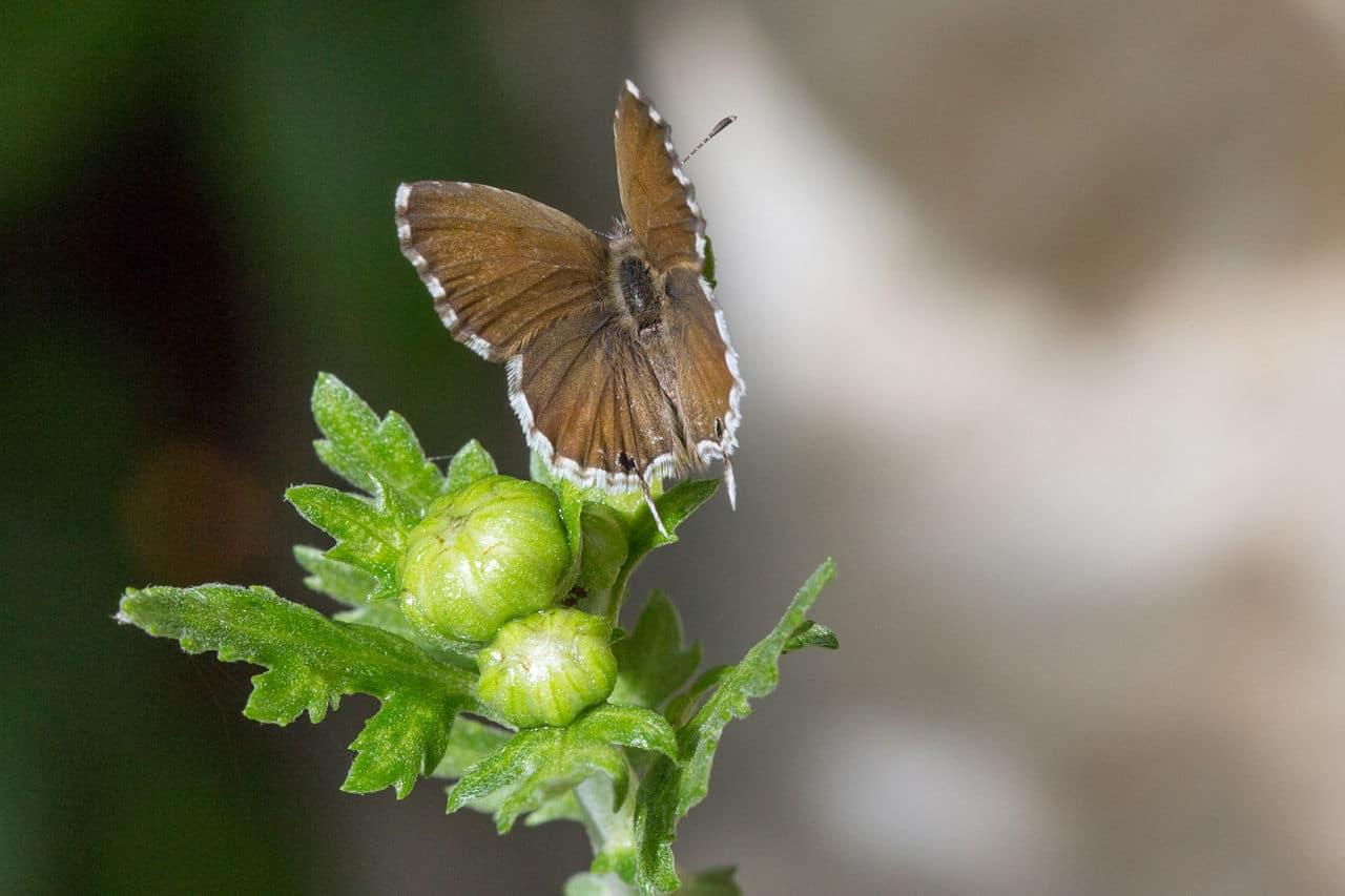La mariposa del geranio es una plaga importante