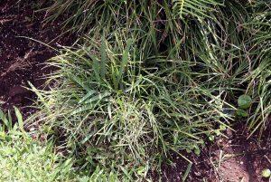 matorral llamado Ophiopogon japonicus