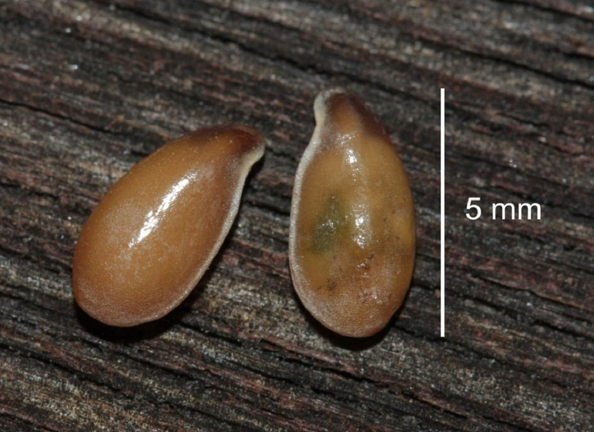 medidas de dos semillas de linaza o Linum usitatissimum