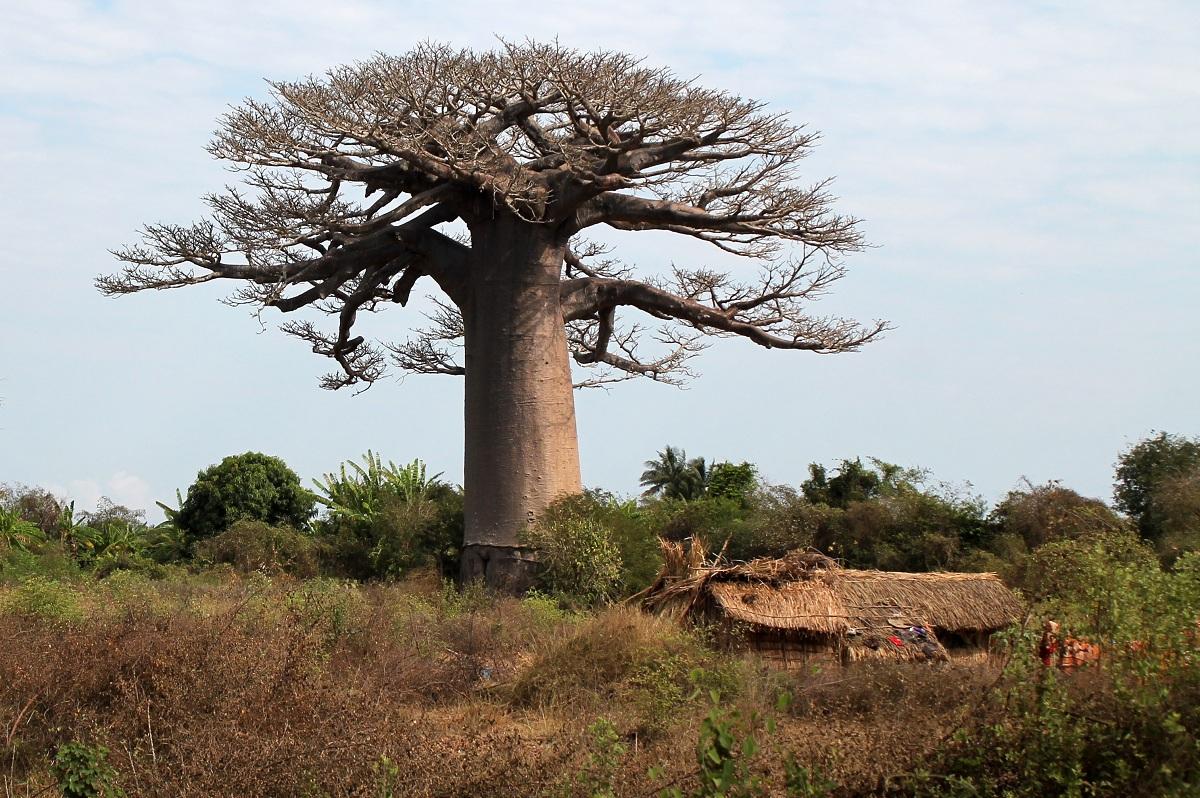 otras especies de baoba