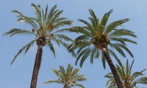 El cogollo de una palmera es de donde salen las hojas