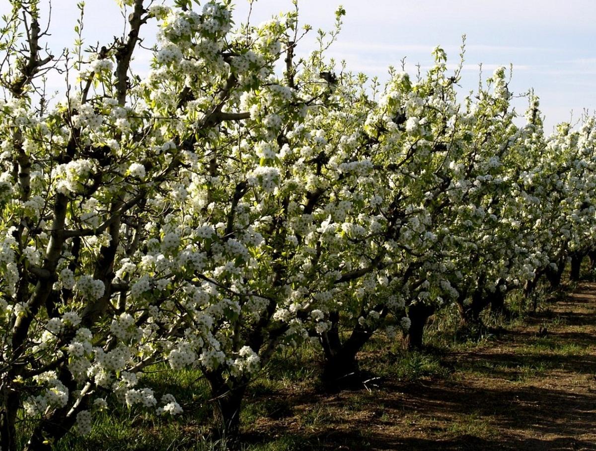 peral en flor llena de flores blancas