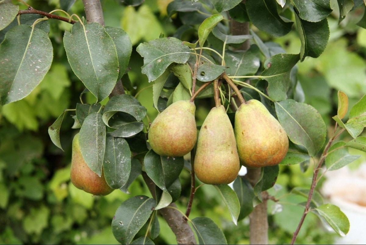 peras maduras en un arbol llamadas Pyrus communis