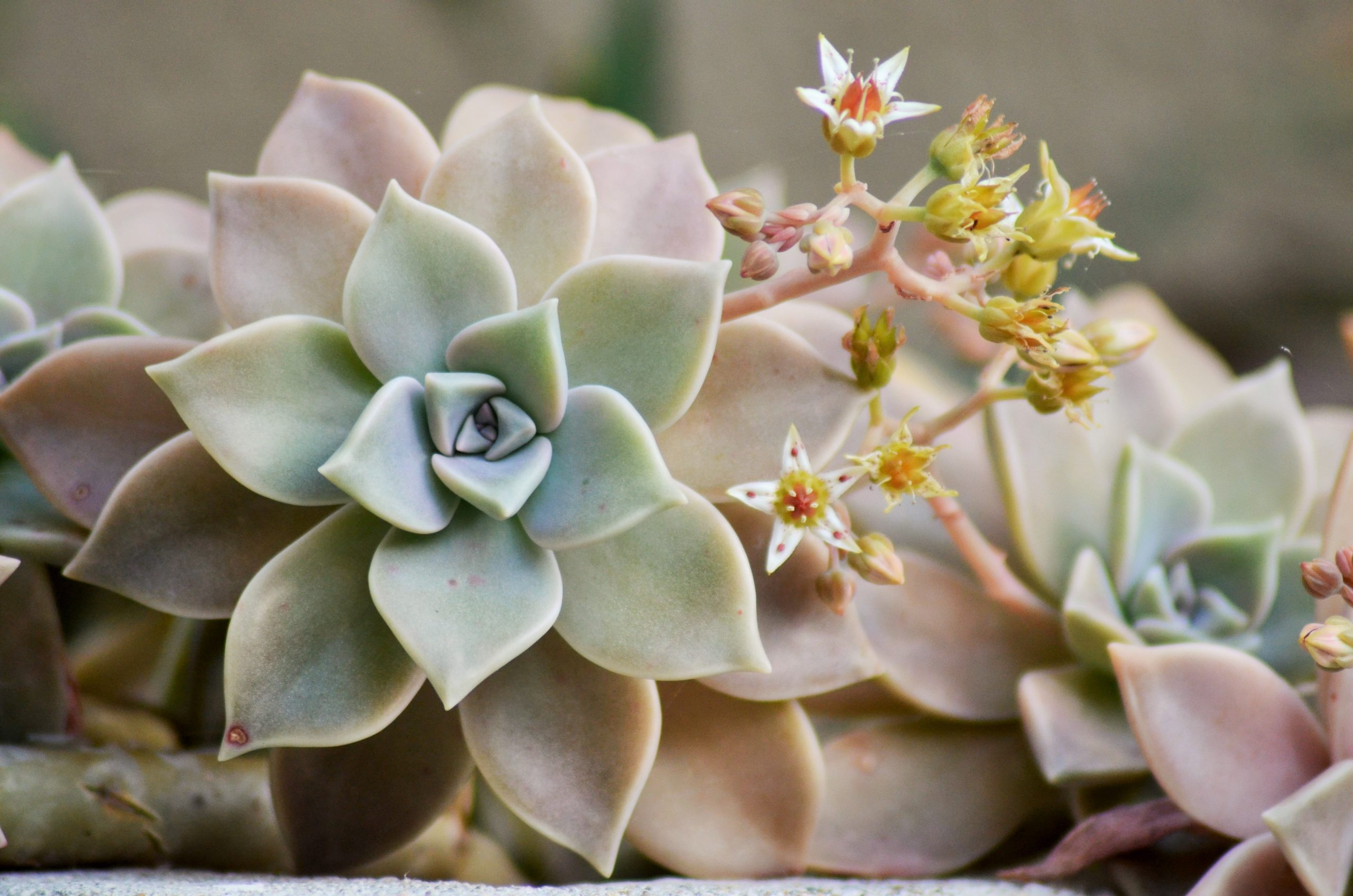 Las plantas crasas tienen hojas carnosas