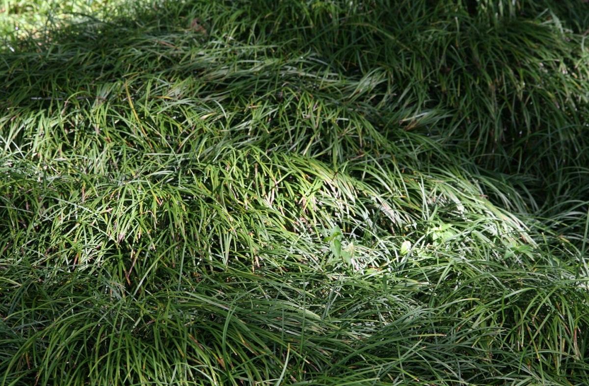 planta invasiva llamada Ophiopogon japonicus