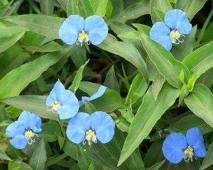 planta medicinal santa lucia