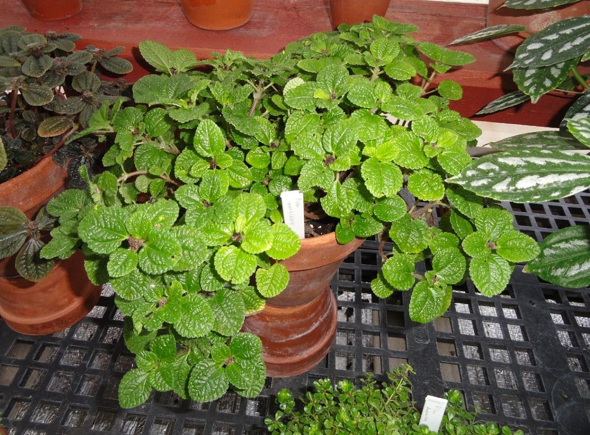 preciosa llena de hojas verdes en maceta