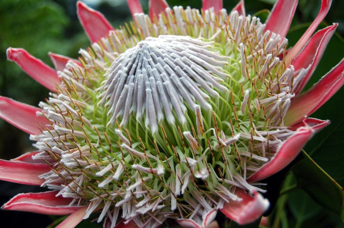 La Protea cynaroides es un arbusto de flor rosa
