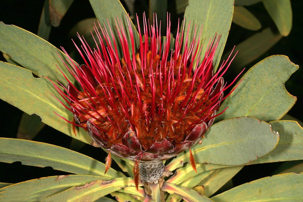 La Protea laetans es un tipo de protea