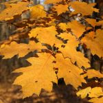 El Quercus es marcescente