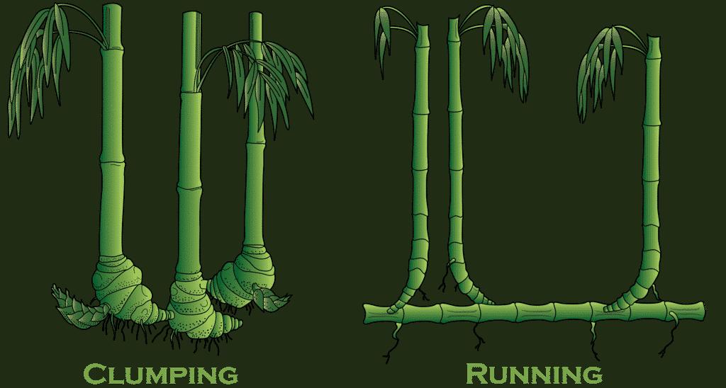 Tipos de bambú por el tipo de rizoma
