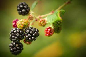 Los frutos del Rubus pueden ser comestibles
