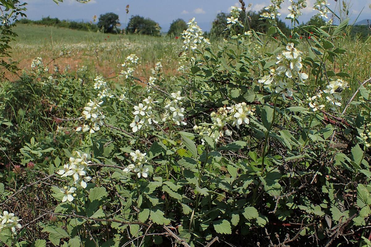 Vista del Rubus canescens