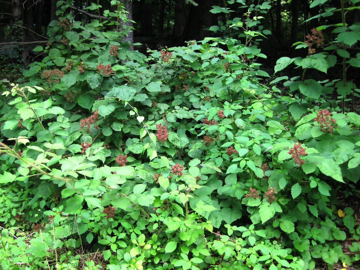 El Rubus es una planta invasiva