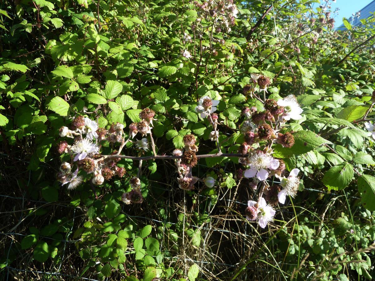 El Rubus ulmifolius es una planta de rápido crecimiento