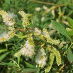 Los Salix se reproducen por esquejes