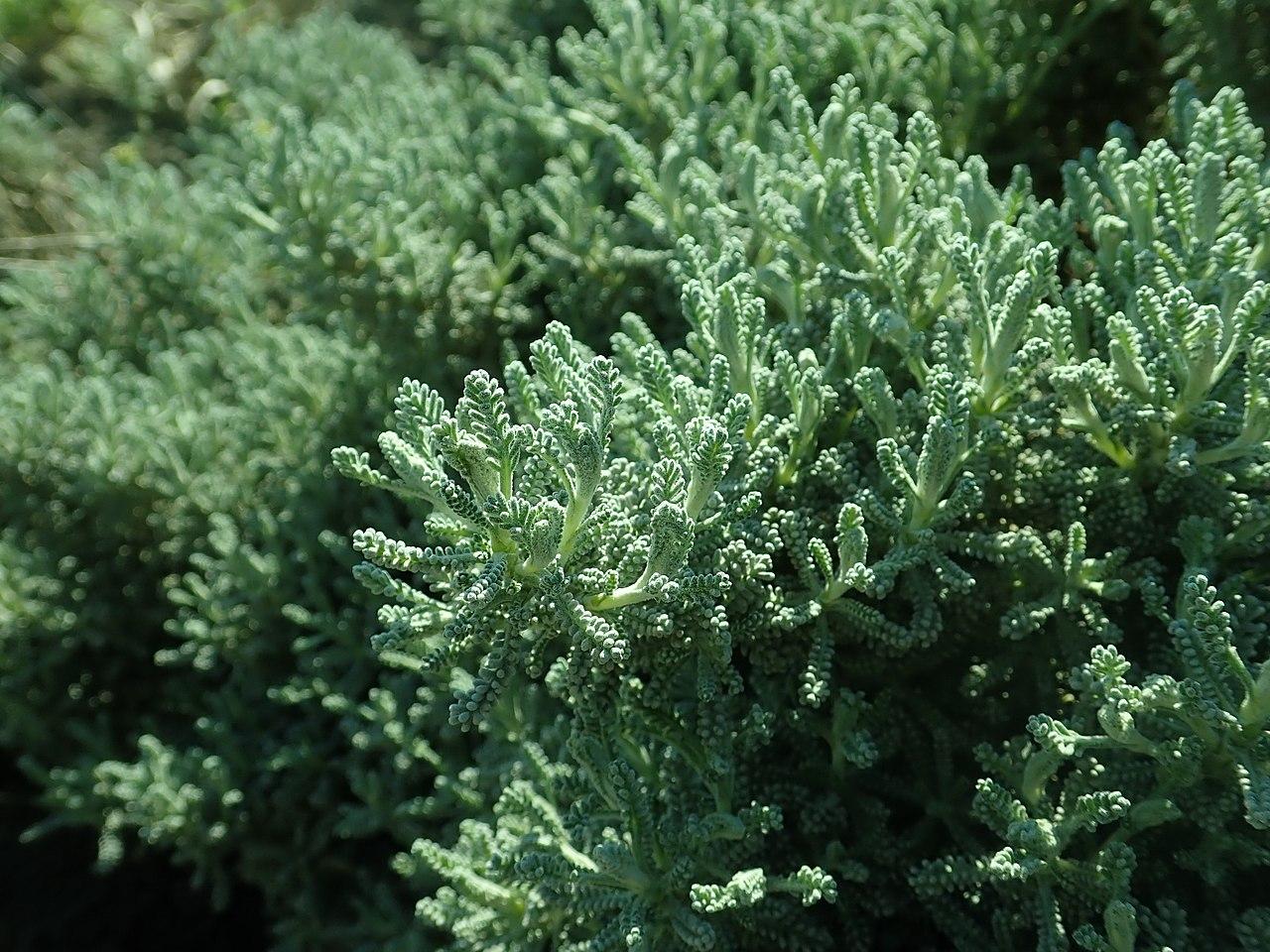 La Santolina rosmarinifolia es una planta perenne