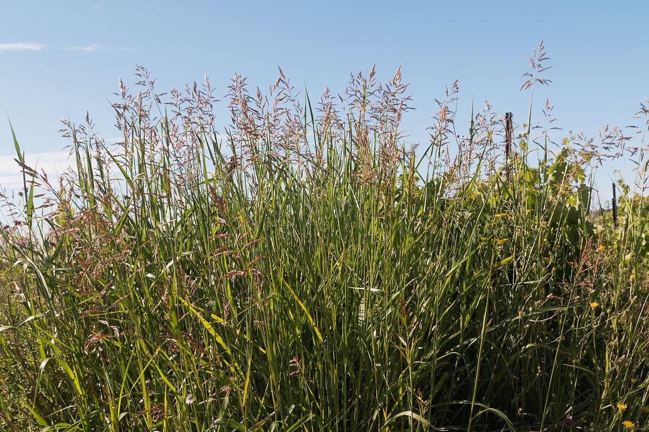 El Sorghum halepense es una hierba dañina