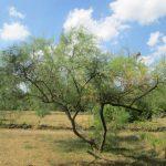 Tamarix gallica, en jardín