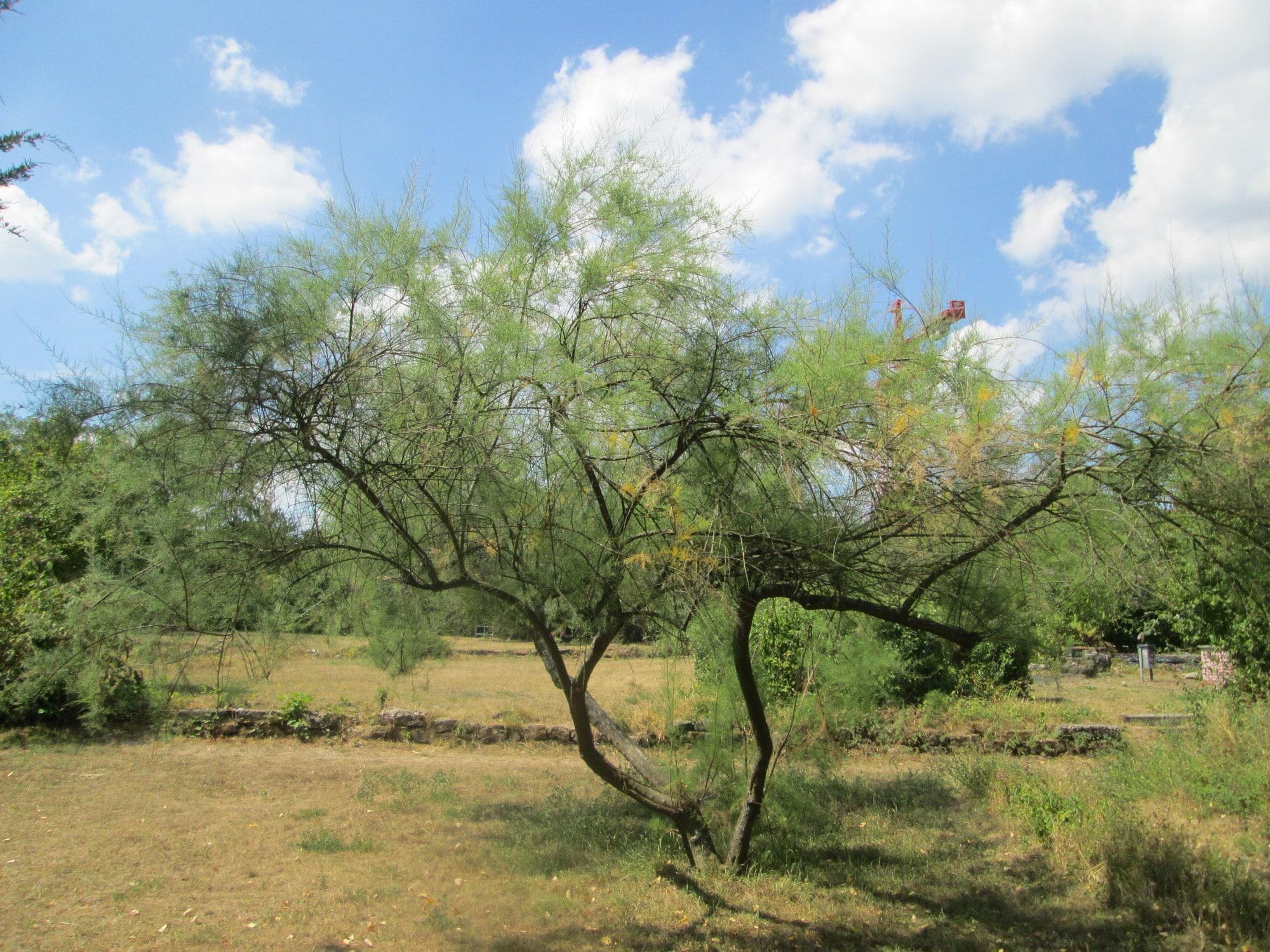 El Tamarix gallica es un arbolito que crece en suelo arenoso