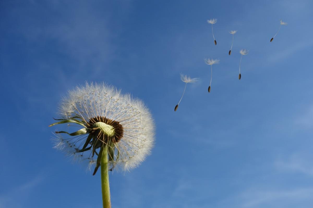 Hay muchas flores cuyas semillas se dispersan con el viento
