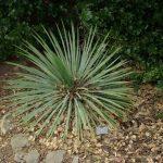 La Yucca es una planta de sol