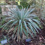 La Yucca pallida tiene las hojas azules