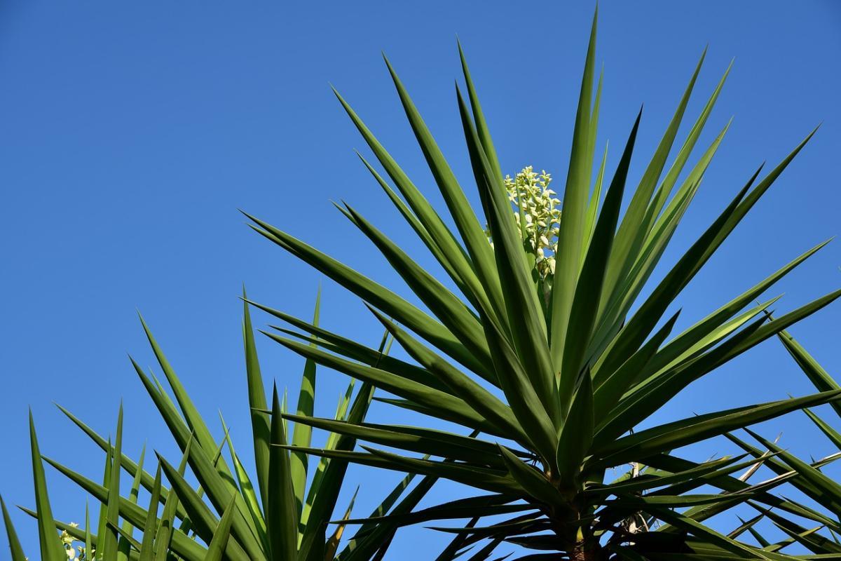 La Yucca es una planta que puede crecer mucho