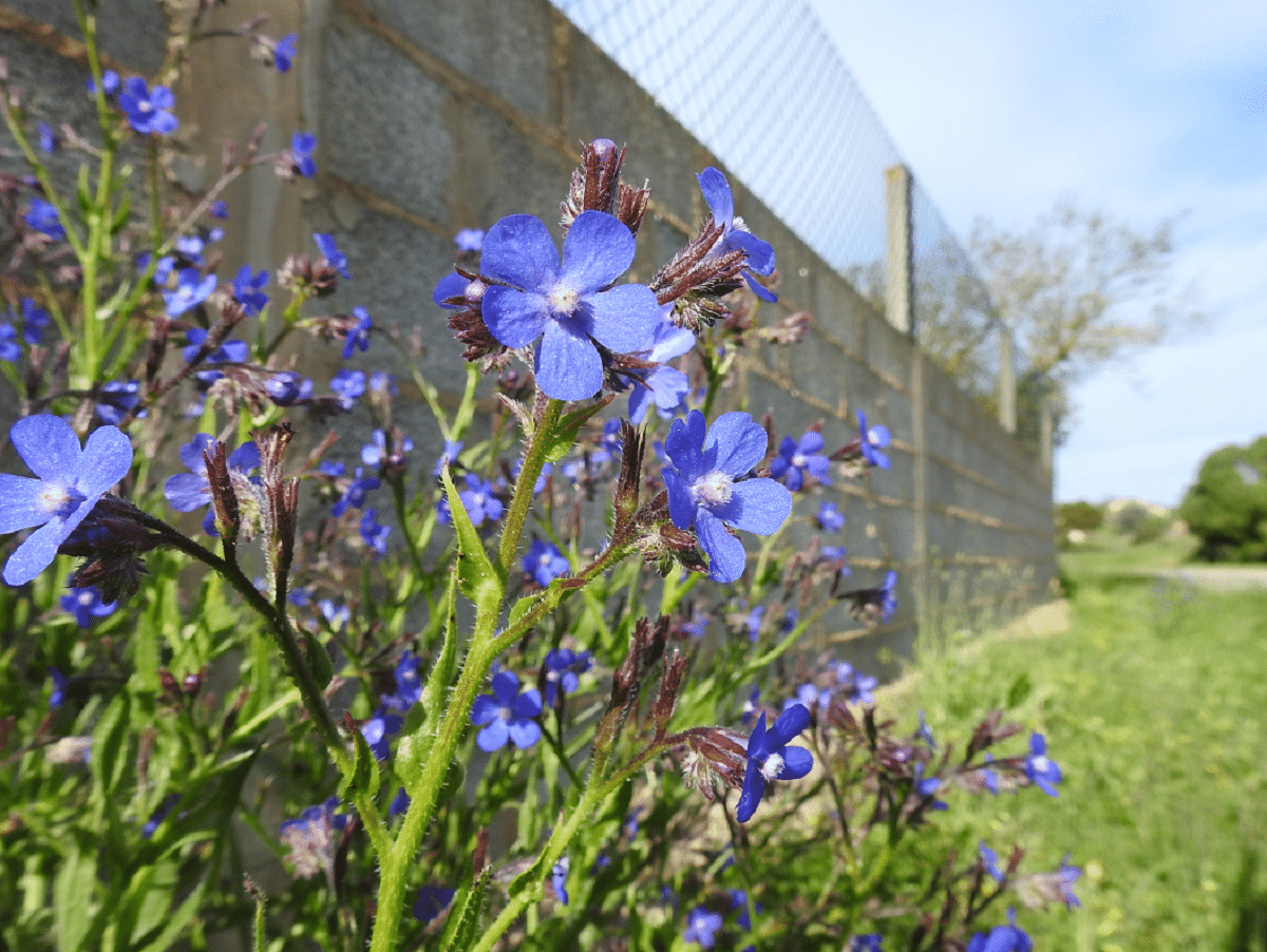 Anchusa azurea plantada en jardin