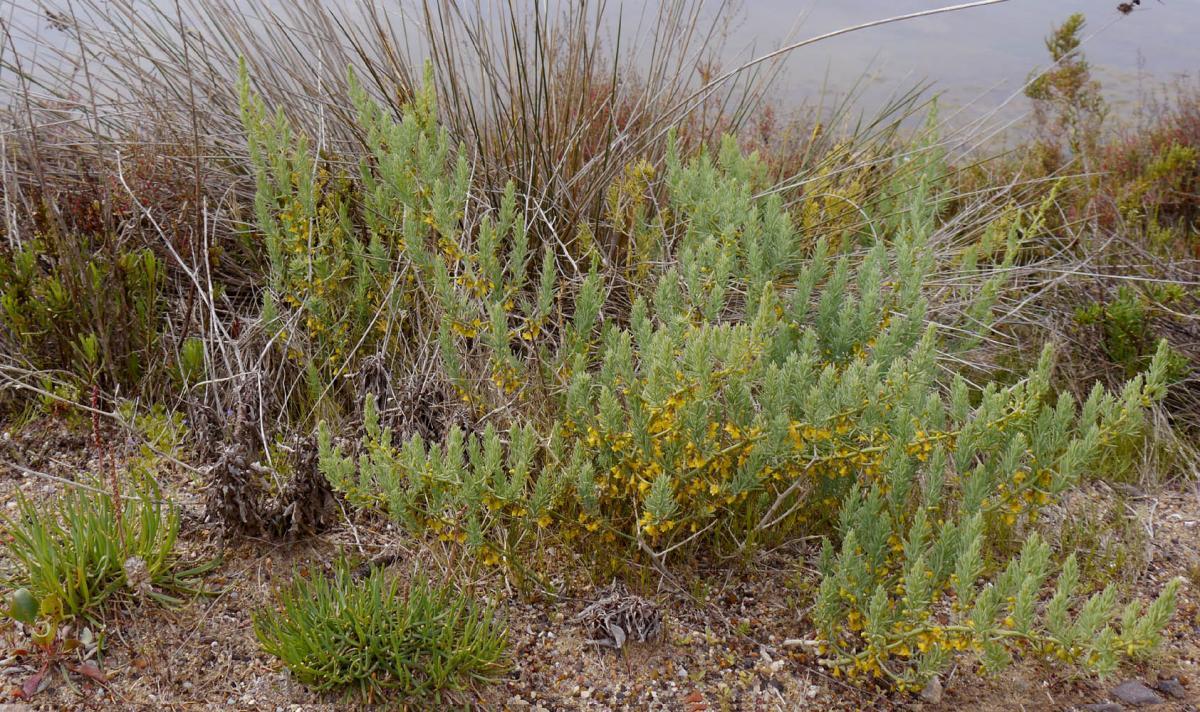 El Asparagus macrorrhizus es una planta marina
