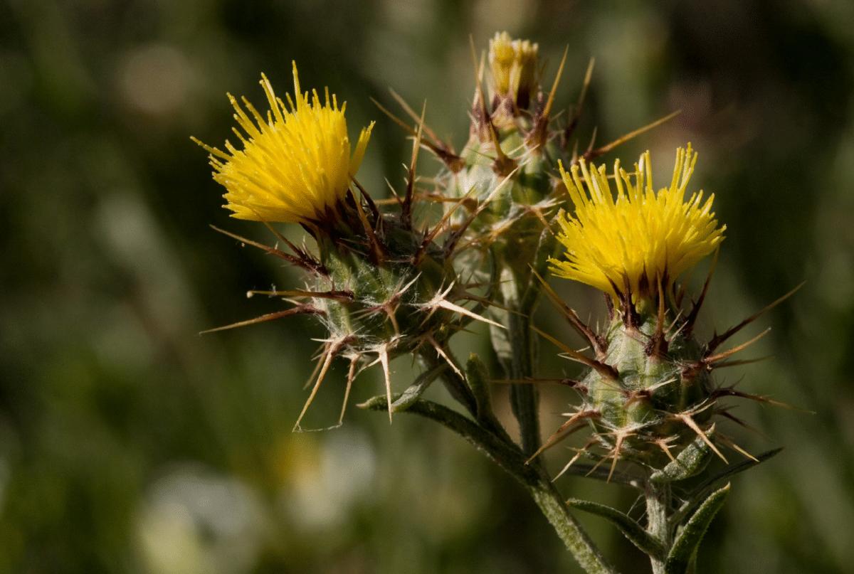 Centaurea melitensis con flores amarillas