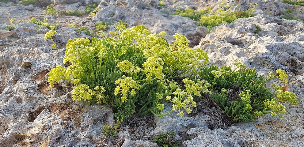 El Chrithmum maritimum es una planta que vive en la playa mediterránea