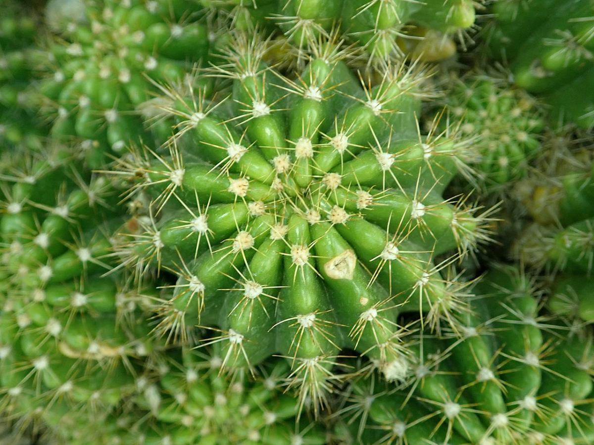 Los cactus redondos son interesantes para macetas