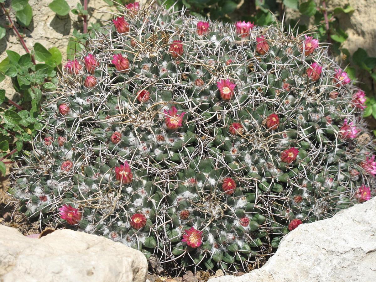 La Mammillaria magnimamma es un cactus redondo que forma colonias