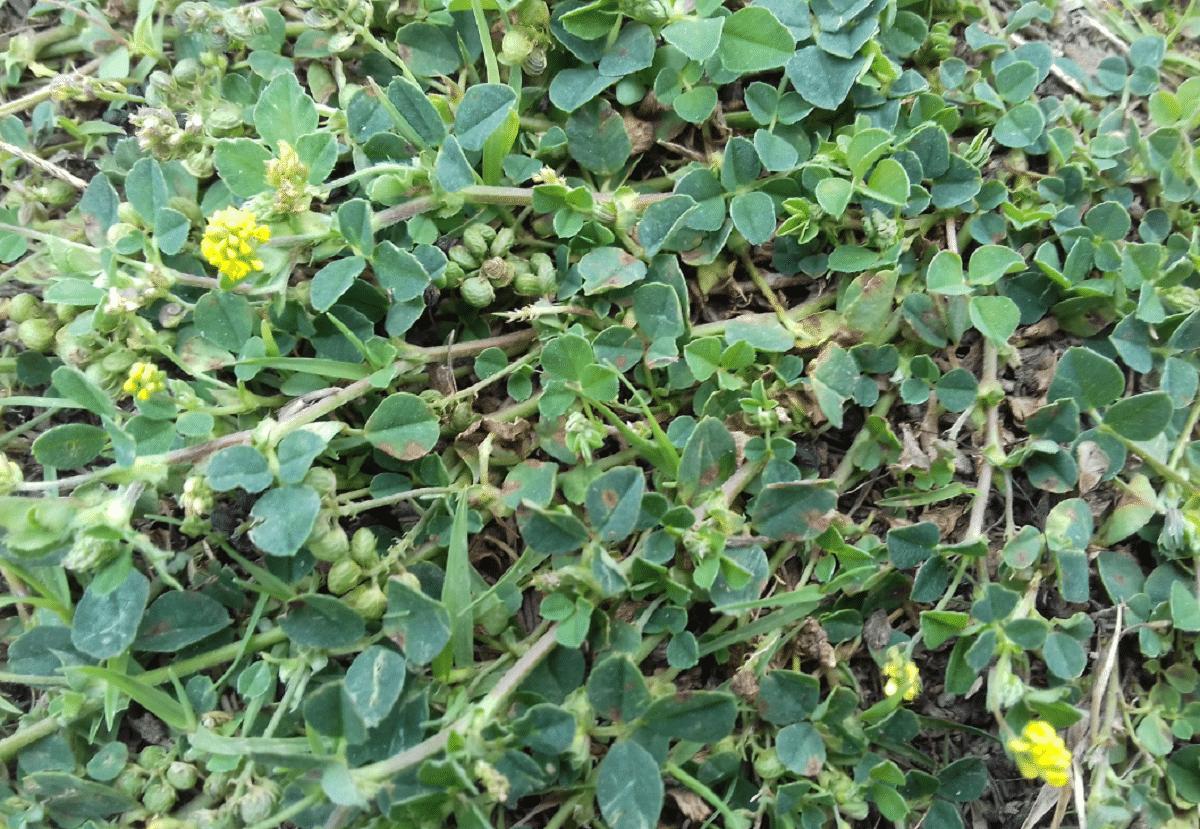Medicago lupulin con flores amarillas