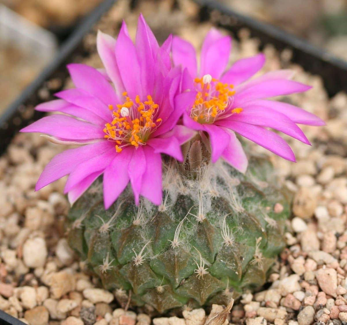La Pelecyphora es un cactus redondo de lento crecimiento