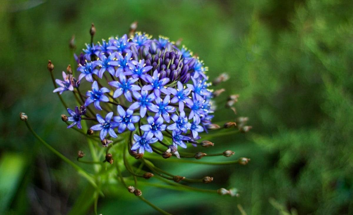 Scilla lilio-hyacinthus con flores de color azuladas