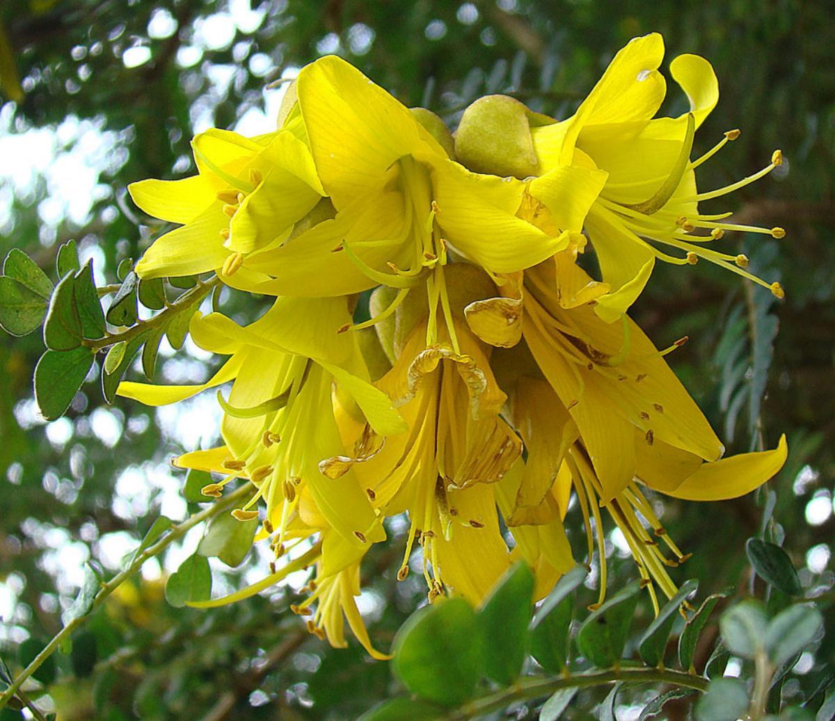 Las flores de la Sophora suelen ser amarillas