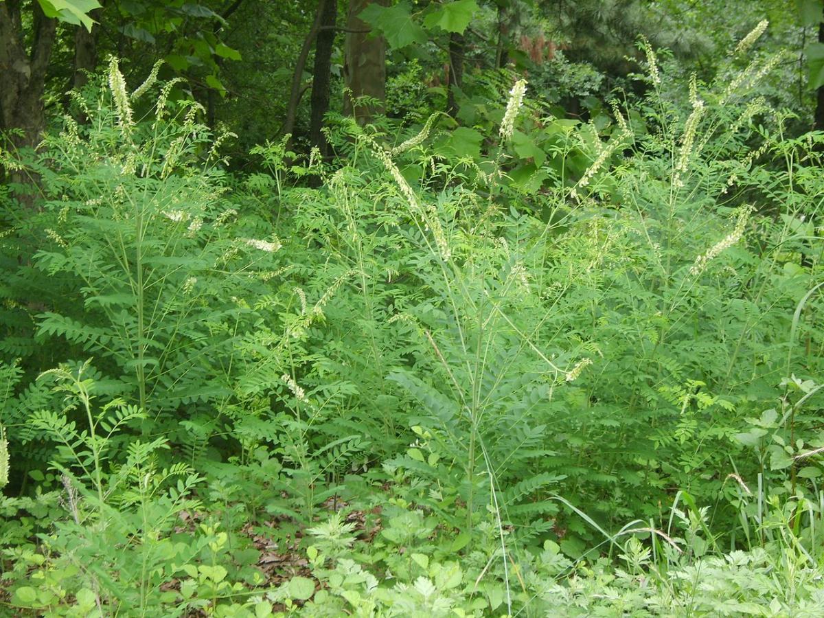 La Sophora flavescens es una planta